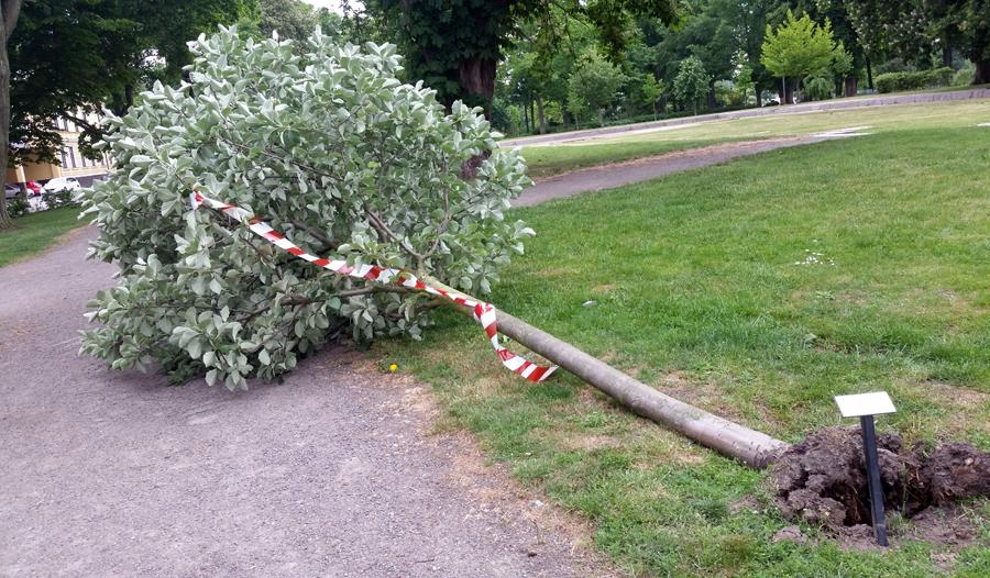 Vinden skördade offer i Stadsparken vid Gamla kyrkans grund. Foto: Poul W Lorenzen
