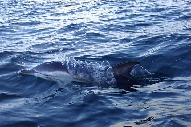 Redan den 31 juli simmade delfinen upp jämte båten som Erik Jannesson satt och fiskade i. Foto: Erik Jannesson.