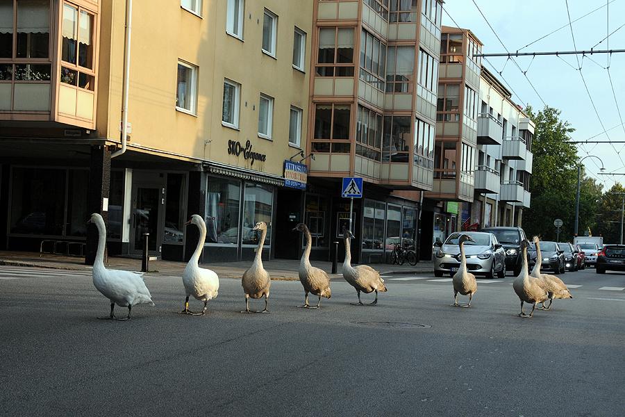 Se svanparaden på Eriksgatan