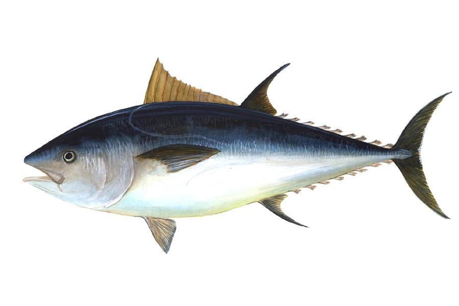 Tonfisken har åter skådats utanför Ven.