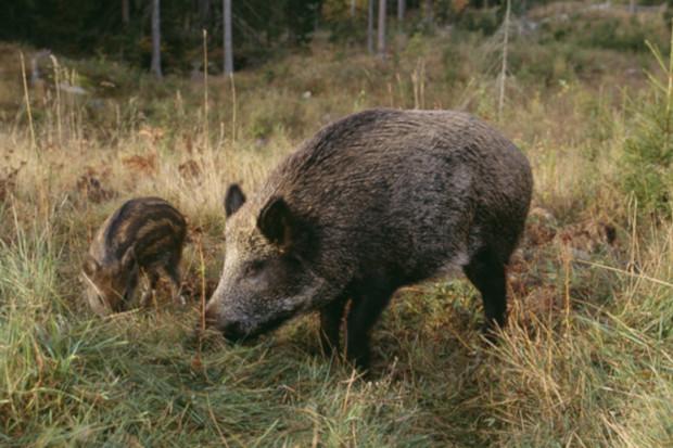 Esbjörnsson vill se vildsvin på menyn