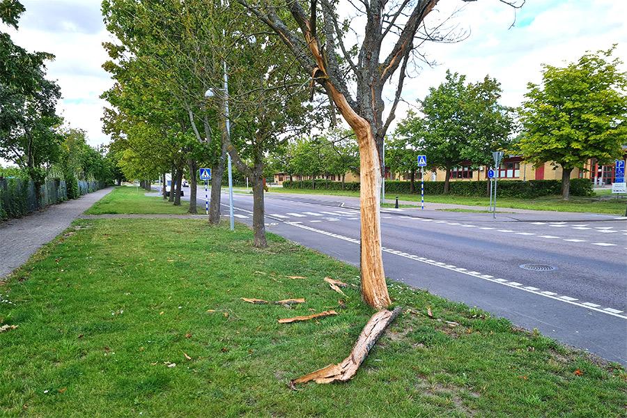 Sjuka träd – en långdragen historia